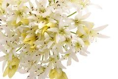 blommawhite Fotografering för Bildbyråer