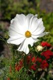 blommawhite Royaltyfri Bild