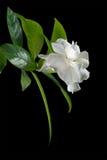 blommawhite Royaltyfria Foton