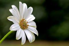 blommawhite Royaltyfri Fotografi