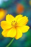 blommayellow Royaltyfria Foton