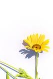 blommayellow Arkivbilder
