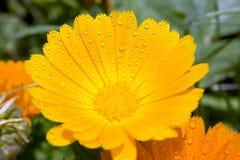 blommayellow royaltyfri foto