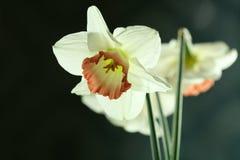 blommayelow Royaltyfri Fotografi