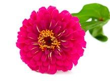 blommazinnia royaltyfri fotografi