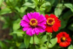 Blommazinnia av lila färg Royaltyfri Fotografi