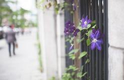 Blommig vinranka för lilor på stadsväggen royaltyfri foto