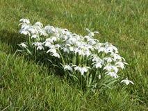blommiga snowdrops för double arkivfoton