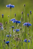 Blomming Cornflower Stockfotos