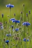 Blomming cornflower Stock Photos