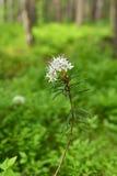 Blomming-Ledum palustre Lizenzfreies Stockbild