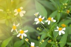 Blommor är vita med gula stamens, naturlig bakgrund Arkivfoton
