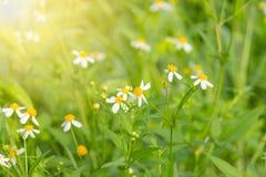 Blommor är vita med gula stamens på naturlig bakgrund Royaltyfri Bild