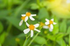 Blommor är vita med naturlig bakgrund för gula stamens Fotografering för Bildbyråer