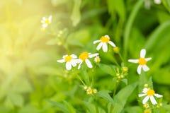 Blommor är vita med naturlig bakgrund för gula stamens Arkivbild