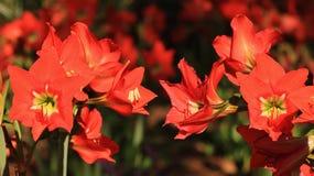 Blommor - Amarilla, härlig skottpengar royaltyfri foto