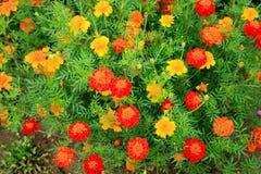 blommor arbeta i trädgården orangen Arkivbild