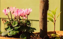 blommor arbeta i trädgården pink Vår eller sommar Fotografering för Bildbyråer