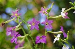 blommor arbeta i trädgården purple Royaltyfri Foto