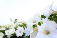 blommor arbeta i trädgården white Arkivfoton