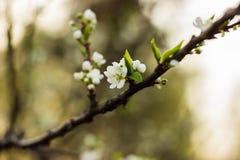 Blommor av äpplet Fotografering för Bildbyråer
