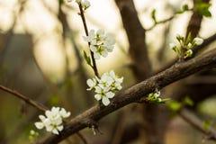 Blommor av äpplet Arkivbild