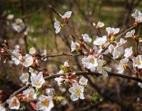 Blommor av äpplet Arkivfoto