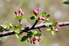 Blommor av äpplet Royaltyfri Fotografi