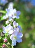 Blommor av äpplet royaltyfria foton