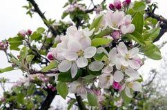 Blommor av äppleträdet Arkivfoto