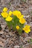 Blommor av adonis Royaltyfria Bilder