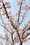 Blommor av aprikons Arkivbilder