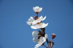 Blommor av aprikosträd-Prunusen armeniaca-på den blåa himlen, Turkiet Fotografering för Bildbyråer