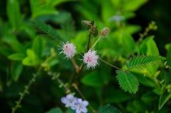 Blommor av att sova gräs Arkivfoton