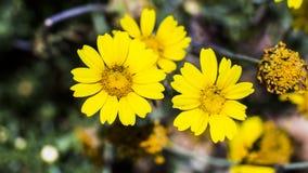 Blommor av bergen av Jerusalem Arkivfoto