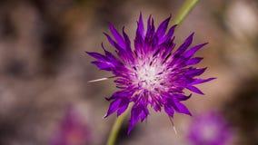 Blommor av bergen av Jerusalem Royaltyfri Foto
