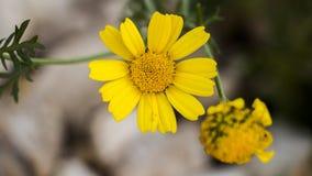 Blommor av bergen av Jerusalem Royaltyfri Bild
