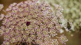 Blommor av bergen av Jerusalem Royaltyfria Bilder