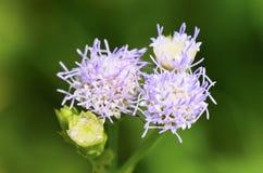 Blommor av Billy Goat Weed (Ageratumconyzoides) Arkivbilder