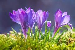 Blommor av blåa krokusar på en solig vårdag royaltyfri bild