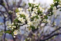 Blommor av blommande äppleträd 11 Royaltyfri Fotografi