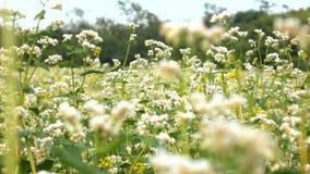 Blommor av bovete och vidsträckta fält för bovete lager videofilmer