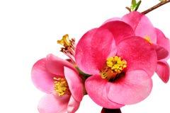 Blommor av ChaenomelesJaponica (japansk kvitten) att blomstra.  I royaltyfria foton
