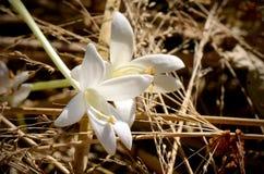 Blommor av Cork Tree Arkivfoton