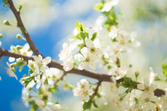 Blommor av de körsbärsröda blomningarna på en vårdag Royaltyfria Bilder