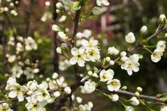 Blommor av de körsbärsröda blomningarna på en vårdag Royaltyfri Foto