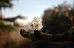 Blommor av de körsbärsröda blomningarna på en vårdag Arkivfoto