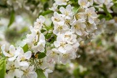 Blommor av de körsbärsröda blomningarna på en vårdag Arkivbilder