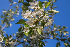 Blommor av de vita körsbärsröda blomningarna på en vårdag Royaltyfria Foton