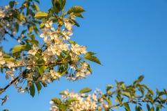 Blommor av de vita körsbärsröda blomningarna på en vårdag Arkivfoton